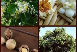 Olej tamanu – właściwości
