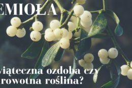 Jemioła – świąteczna ozdoba czy zdrowotna roślina?